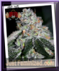 Sin City SinMint Cookies Female 7 Cannabis Seeds